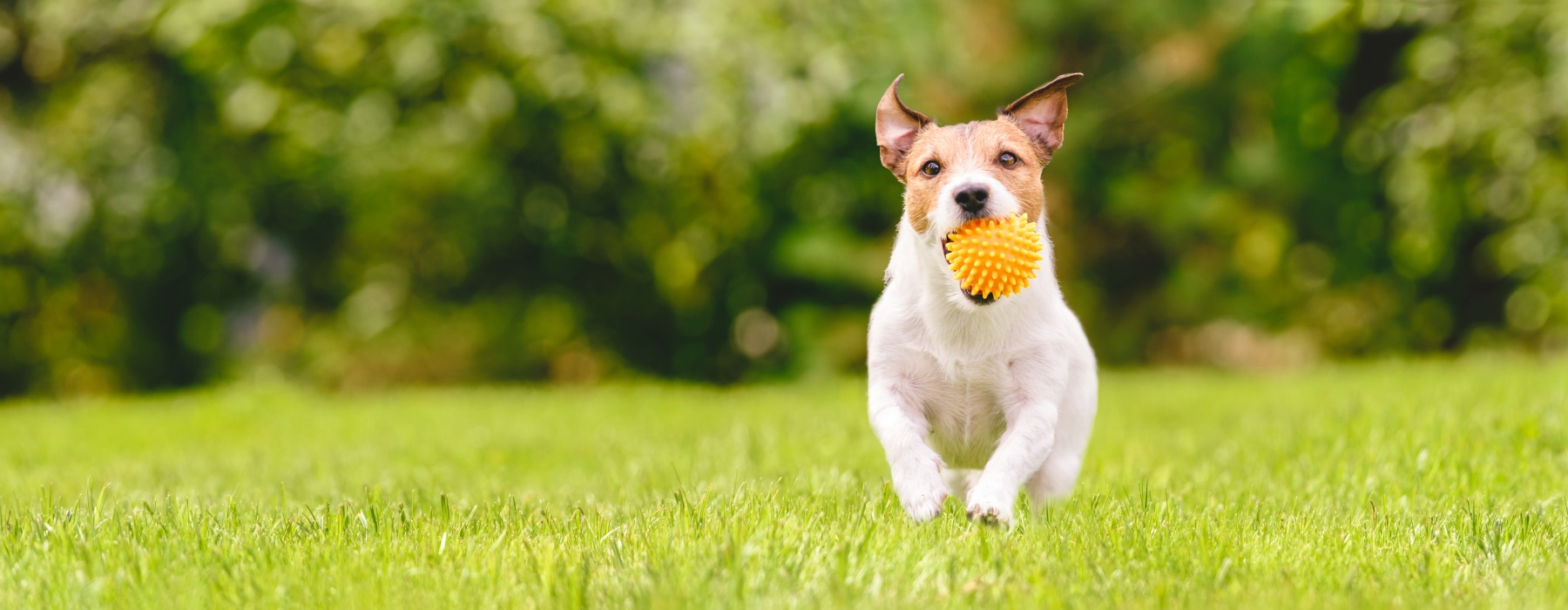 Dog running in grass park with ball